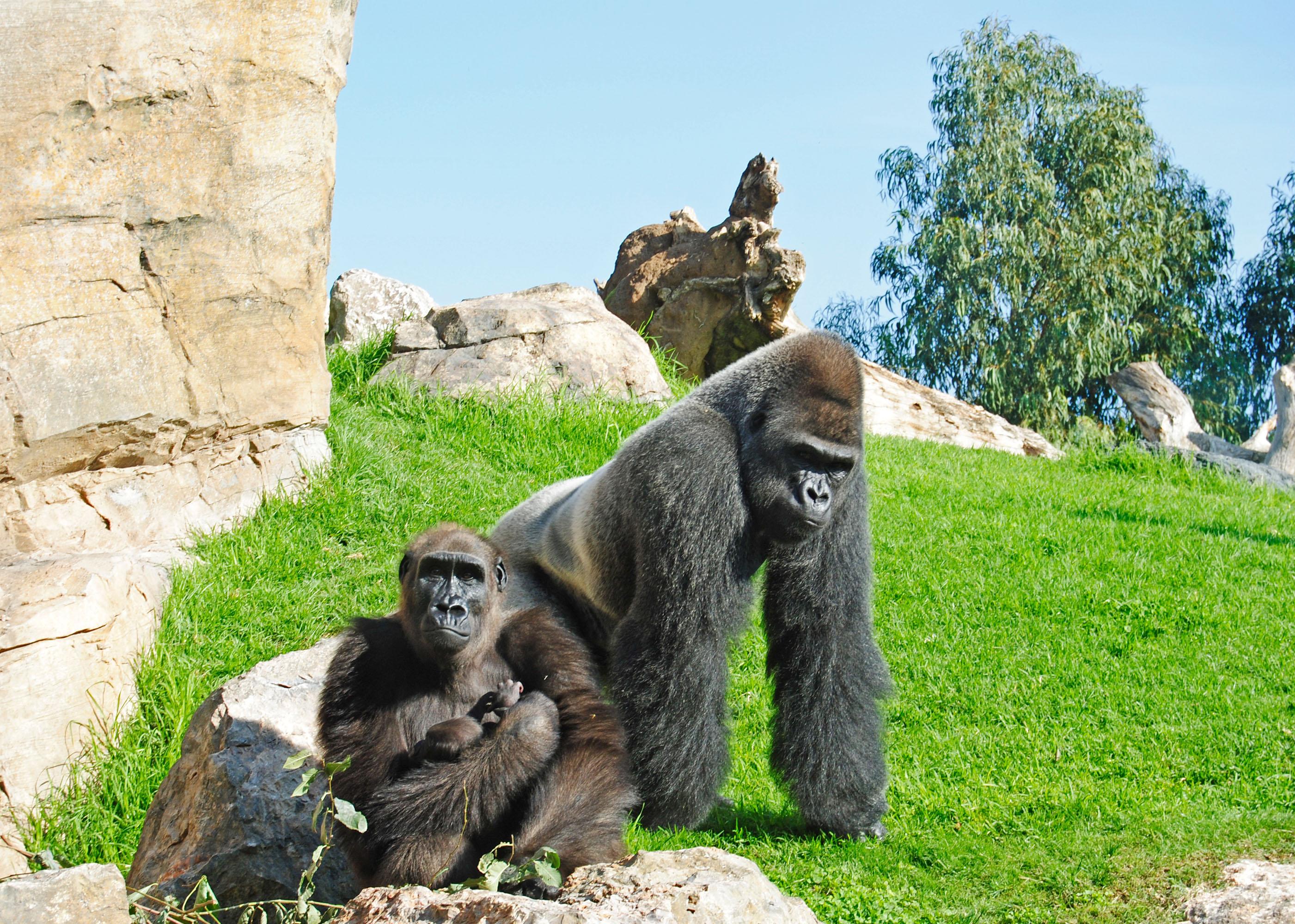 Bioparc valencia celebra el nacimiento del primer gorila oconowocc - Bioparc precios valencia ...