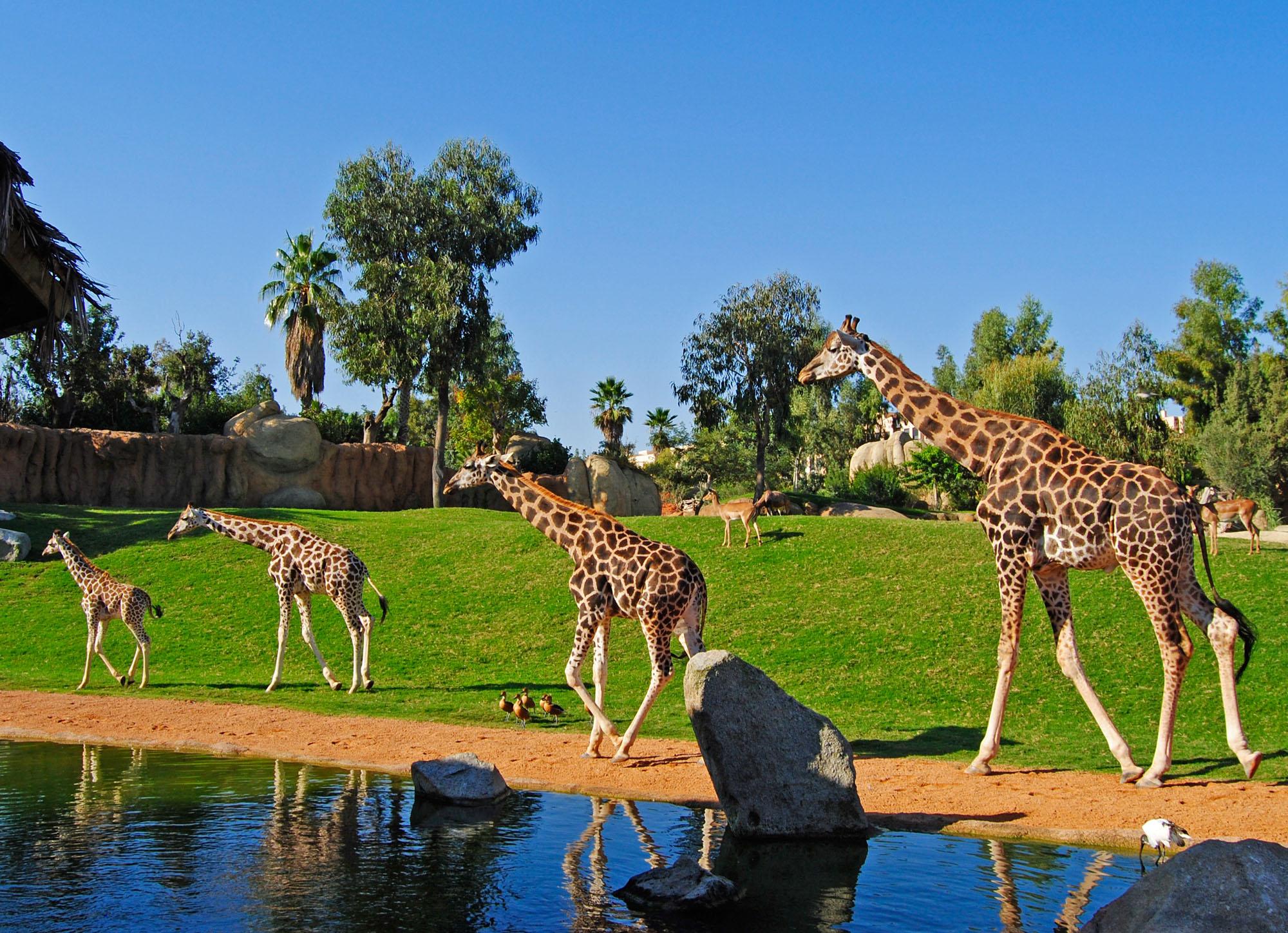 La nueva jirafa del bioparc cumple 1 a o de vida oconowocc - Telefono bioparc valencia ...