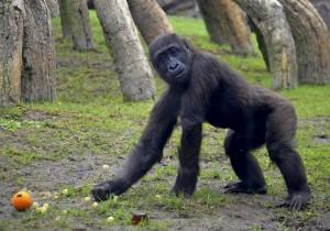 3er cumpleaños del gorila EBO - BIOPARC Valencia - 26-10-15