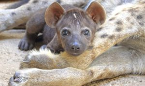 2016-agosto-Bioparc-cachorro-hiena-02
