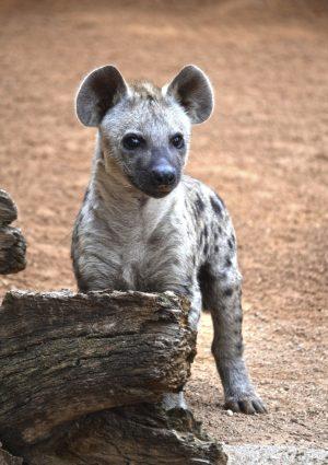 thumbnail_cachorro-de-hiena-primer-dia-en-la-sabana-de-bioparc-valencia-septiembre-2016