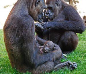 bioparc-valencia-la-gorila-ali-con-su-bebe-junta-a-la-hembra-fossey