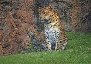 thumbnail_bioparc-valencia-leopardos-madre-y-cachorro-primer-dia-en-el-bosque-ecuatorial-8
