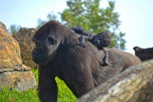 bioparc-valencia-la-hembra-nalani-y-su-bebe-gorila-2-1024x686