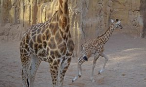 lluna-cria-de-jirafa-bioparc-valencia