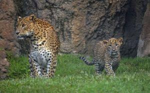 thumbnail_bioparc-valencia-leopardos-madre-y-cachorro-primer-dia-en-el-bosque-ecuatorial