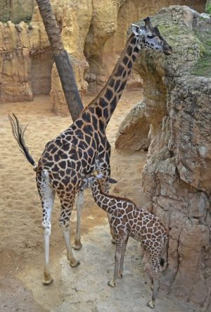 thumbnail_enero-2017-jirafas-de-rothschild-madre-y-cria-bioparc-valencia