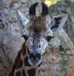 thumbnail_BIOPARC Valencia - La cría de jirafa llamada Kenia - febrero 2017 (3)